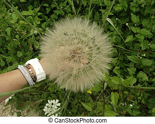 Woman Hand Holding a Giant Dandelion on the Background of Green Grass