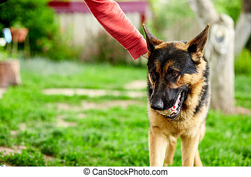 Woman hand petting a dog, German shepherd play in the park.