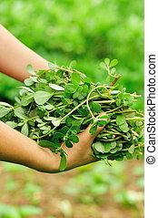 woman hand picking herb at garden