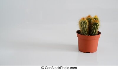 Woman hand puts Crassula and Cactus in pot on white...