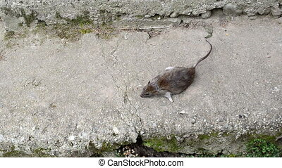 woman hand take dead big rat lying