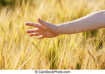 Woman hand touches wheat