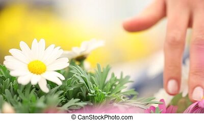 Woman hand touching the Daisies flo