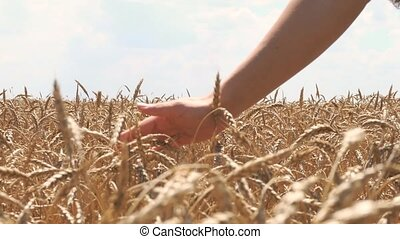 Woman hand touching wheat ears on the field