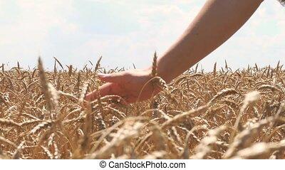 Woman hand touching wheat ears