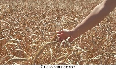 Woman hand touching wheat ears on the field. slow motion