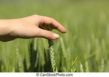 Woman hand touching wheat in a field
