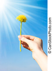 Woman hand with dandelion