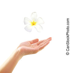 Woman hand with frangipani on white background