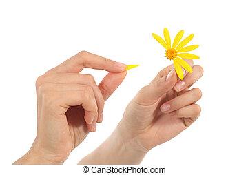 Woman hands defoliating a daisy