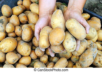 woman hands hold organic potatoes in the garden
