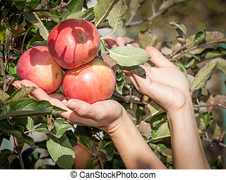 Woman hands holding a red ripe apples.