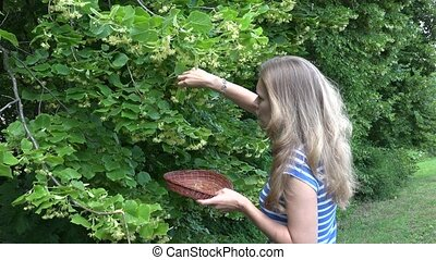 woman hands pick linden herbal flowers to wooden wicker dish. 4K