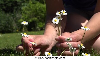 Woman hands pick small daisy flowers from lawn. 4K