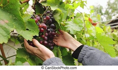 Woman hands picking bunch of grapes harvested by herself in a red grapes vineyard. Organic handmade food concept.