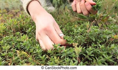 Woman hands picking up fresh green thyme growing in the meadow.