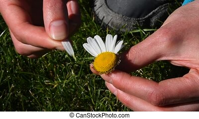 Woman hands rip out petals of chamomile flower