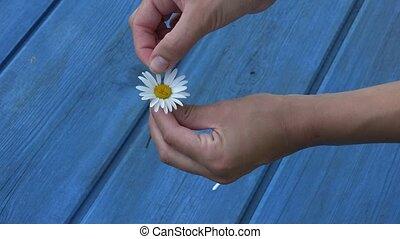 woman hands tear off daisy flower petals on blue board background. 4K