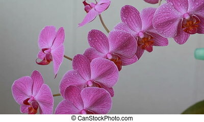 Woman hands with sprayer spraying on purple orchid flowers