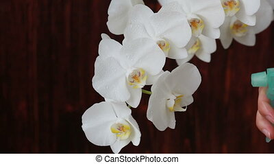 Woman hands with sprayer spraying white orchid - Woman hands...