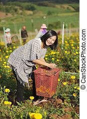 Woman harvesting flower