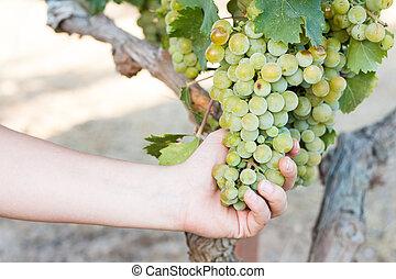 Woman harvesting grapes in the vineyard