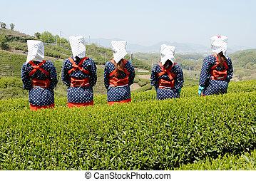 woman harvesting green tea leaves