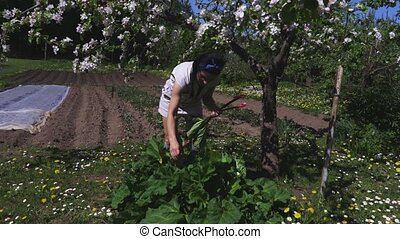 Woman harvesting rhubarb leaves