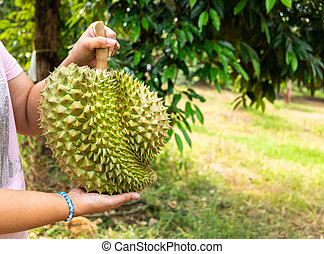 Woman Holding a Big Heavy Durian in the Durian Farm.