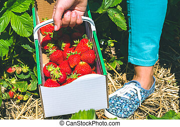 Woman holding carton box basket with delicious fresh picked strawberry