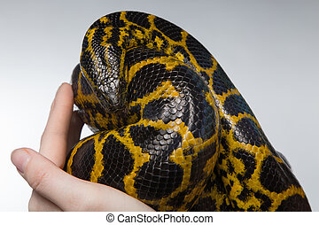 Woman holding yellow anaconda