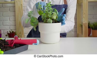 Woman in gloves and apron potting house plant close up. High quality 4k footage