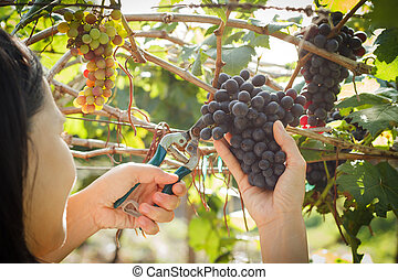 Woman in vineyard picking grapes.