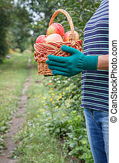 Woman is holding wicker basket with red apples in her hands