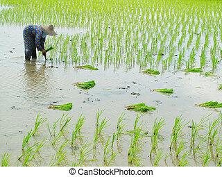 woman paddy work