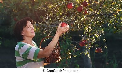 Woman Pick an Apples in a Basket - Woman in garden collects...