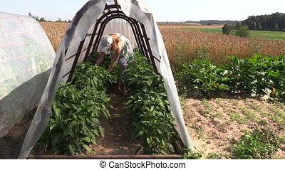 woman pick ripe paprika