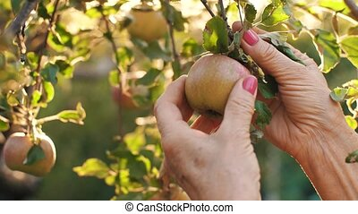 Woman picking an apple on sunset - Woman in garden collects...