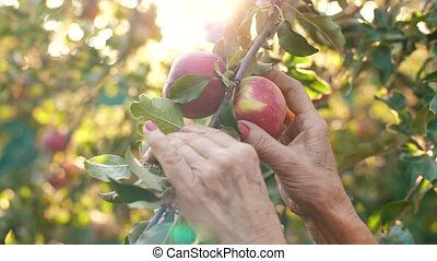 Woman picking an apple - Woman in garden collects apples