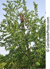 Woman picking black wild cherries