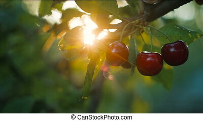 Woman picking cherry at sunset