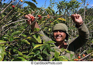 Woman picking coffee beans in sun - Picking ripe arabica...
