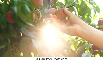 Woman Picking Peaches From Branch - Woman in garden collects...