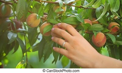 Woman Picking Peaches - Woman in garden collects peaches