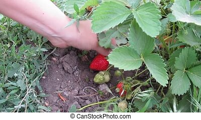 picking strawberries in the garden