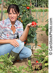 Woman picking tomatoes in her kitchen garden