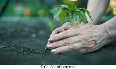 Woman planting a plant - Moman's hands cover a roots of a...