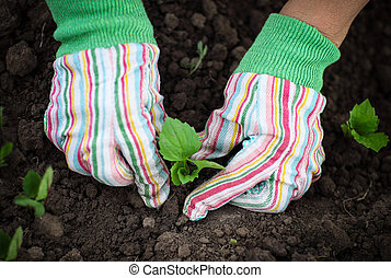 Woman planting a seedling in the vegetable garden wearing gloves