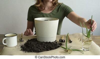 Woman planting aloe vera. Woman is unrecognizable.