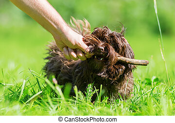 woman plays with a Havanese dog in the meadow